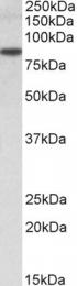 GTX24836 - TRIM36 / RNF98