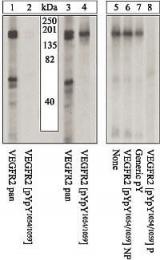 GTX25472 - CD309 / VEGFR-2 / Flk-1