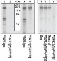 GTX25473 - CD309 / VEGFR-2 / Flk-1