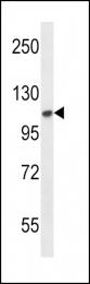 GTX25476 - CD332 / FGFR-2