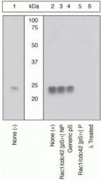 GTX25482 - RAC1+CDC42