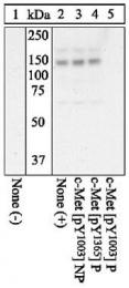 GTX25656 - HGF receptor