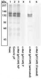 GTX25669 - HGF receptor