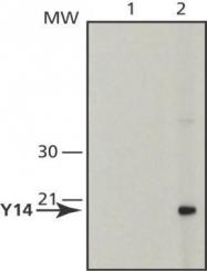 GTX25828 - RBM8A / RBM8