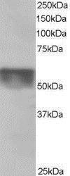 GTX26039 - KPNA4 / Importin alpha-4