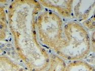 GTX26053 - DNAJB9