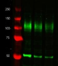 GTX26161 - alpha Tubulin / TUBA1B