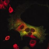 GTX26284 - 58K Golgi Protein