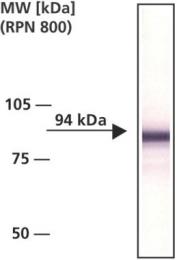 GTX26302 - Catenin beta-1