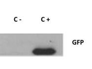GTX26556 - GFP