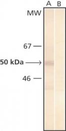 GTX26639 - Phosphoserine