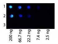 GTX27249 - Protein G