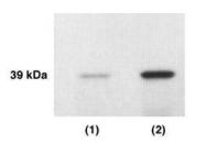 GTX27282 - KLK4 / Kallikrein-4