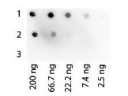 GTX27460 - Protein G