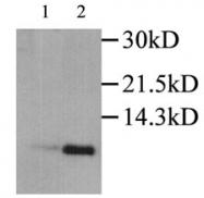 GTX27738 - MIP1 alpha / CCL3