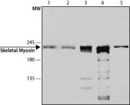 GTX27784 - MYLPF