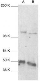 GTX27971 - NF-kB p105 / p50