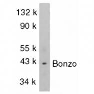 GTX28022 - CD186 / CXCR6