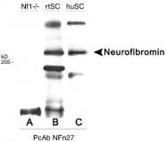 GTX28132 - Neurofibromin