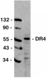 GTX28414 - CD261 / TRAILR1