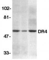GTX28415 - CD261 / TRAILR1