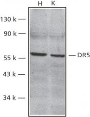 GTX28416 - CD262 / TRAILR2