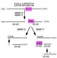 GTX28448 - Osteopontin / SPP1