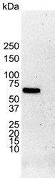 GTX29269 - Estrogen receptor alpha