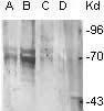 GTX29335 - Phosphoserine