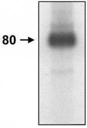 GTX29524 - CD44
