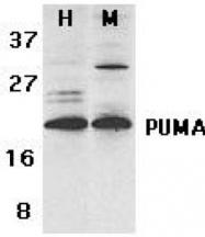 GTX29643 - PUMA