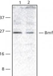 GTX29653 - BMF