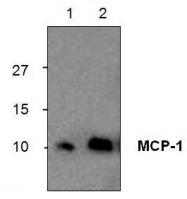 GTX29669 - MCP1 / CCL2