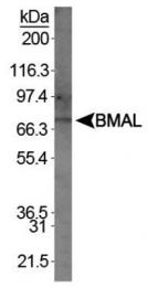 GTX30121 - ARNTL / BMAL1