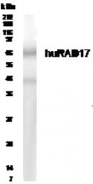 GTX30134 - RAD17