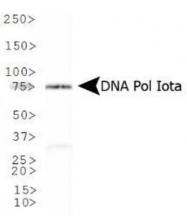 GTX30135 - DNA polymerase iota