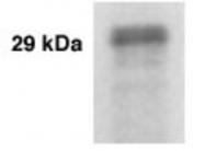 GTX30152 - Kallikrein-3 / PSA / KLK3