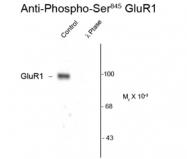 GTX30221 - Glutamate receptor 1 / GLUR1