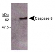 GTX30244 - Caspase-8 / FLICE