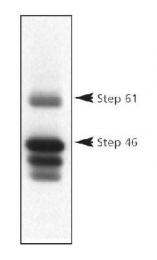 GTX30465 - PTPN5 / STEP