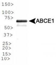 GTX30470 - ABCE1