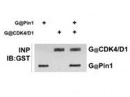 GTX30511 - GST-Tag
