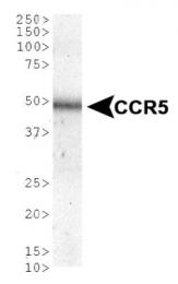 GTX30616 - CD195 / CCR5