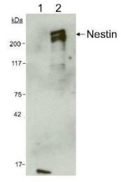 GTX30671 - Nestin