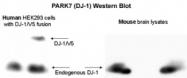 GTX30674 - DJ-1 / PARK7