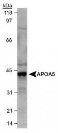 GTX30681 - Apolipoprotein A V / ApoA5