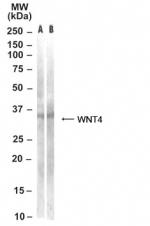 GTX30713 - WNT4