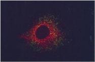 GTX30729 - CD107b / LAMP2