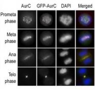 GTX30859 - Aurora kinase C