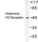GTX31041 - Histamine H3 receptor
